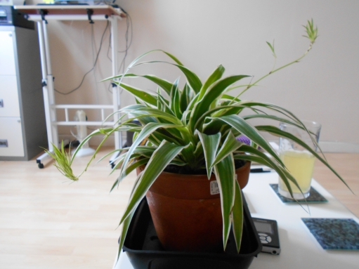 Spider Plant with Spiderettes